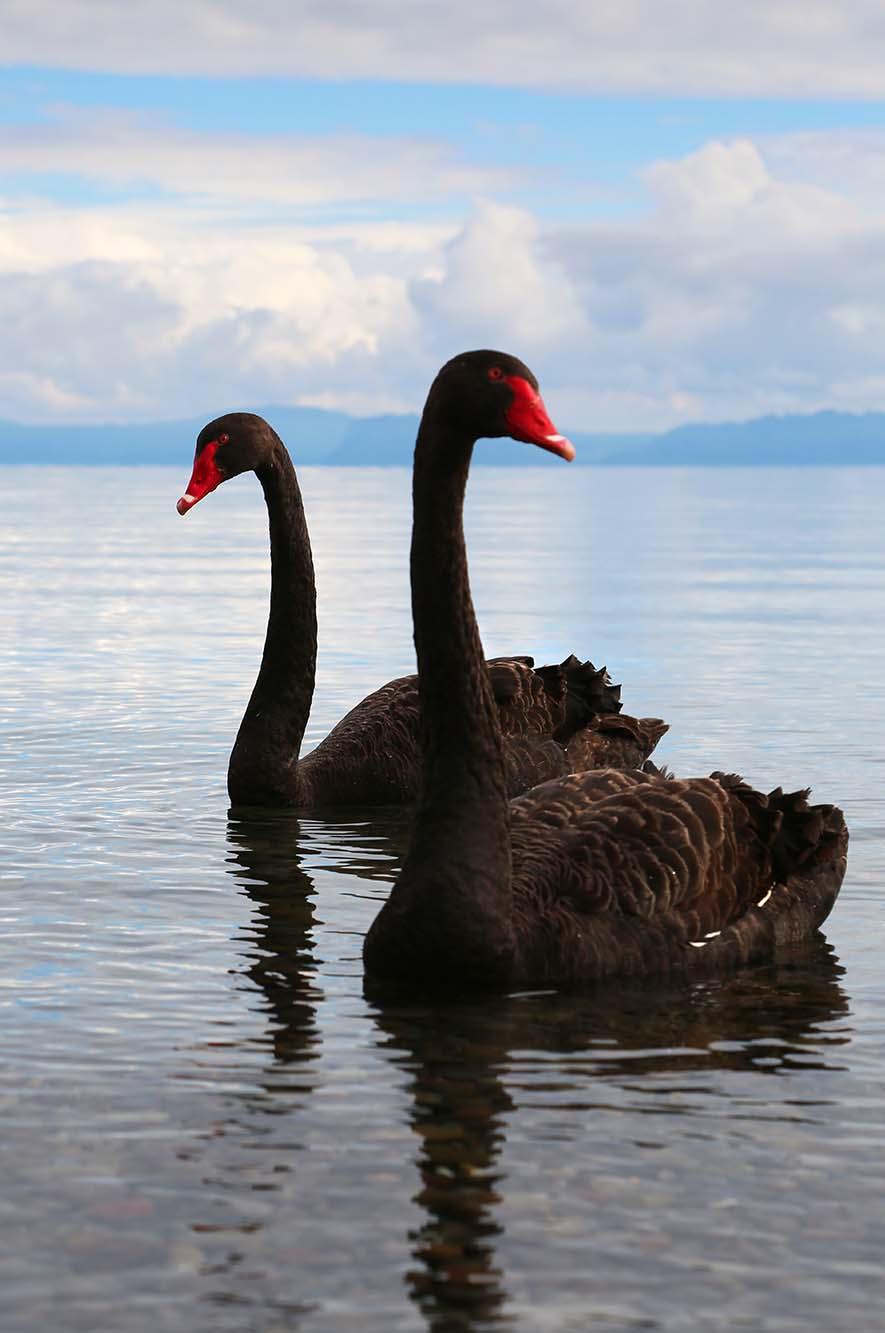 NZ-Swans